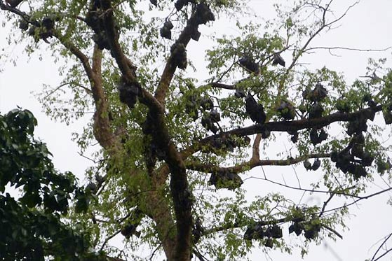Bats in Tano Sacred Grove, Ghana - Photo: Gianni Lo Iacono
